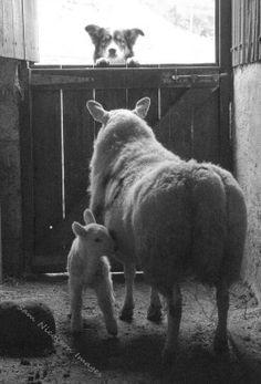 Farm Dogs, Sheep Farm, Sheep And Lamb, Farm Animals, Funny Animals, Cute Animals, Border Collie Puppies, Border Collies, Animal Magic
