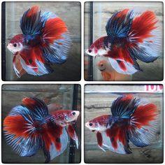 fwbettashm1465651988 - KOI Fresh color (1999) Fish Aquariums, Aquarium Fish, Betta Breeding, Beta Fish, Halfmoon Betta, Freshwater Aquarium, Fish Tank, Koi, Fresh Water