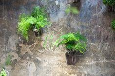 Un vaso di idee: coltivare l'Asparagus plumosus