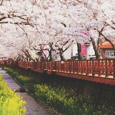 Cherry blossoms bloom at the Romance Bridge in Jinhae, #Korea. Photo courtesy of lostintravels on Instagram.