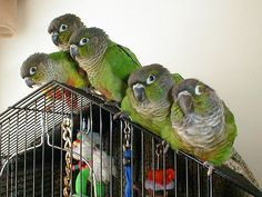 Green Cheeked Conure family.