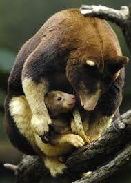 Tree Kangaroo, Mother & Baby - Google Search