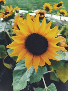 68 best real sunflowers images on pinterest in 2018 sunflowers