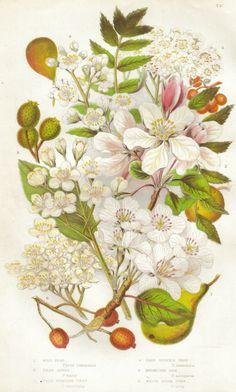 Pear, Apple, Service, Mountain Ash & White Beam - (Plate 73), Anne Prat