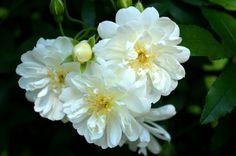 White-Rose-04.jpg 1,939×1,289 pixels