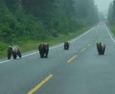 Yooper bears