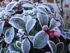 Gaulteria, meravigliosa anche ricoperta di brina! #piante #giardino #inverno #winter #garden #red #berries #ice