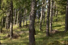 In der Natur unterwegs: Vier Täler, drei Pässe im Locarnese - Lärchenwald - #ExpeditionLocarnese