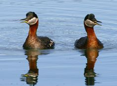 red-necked-grebe-pair-female-and-male-birds-podiceps-grisegena.jpg (3000×2219)
