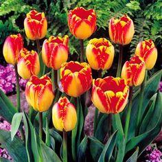 darwin hybrid tulpe ollioules 10 blumenzwiebeln g nstig online kaufen bestellen sie schnell. Black Bedroom Furniture Sets. Home Design Ideas
