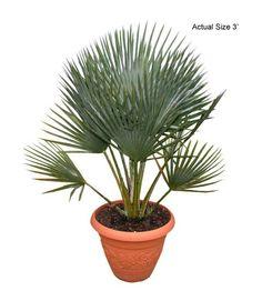 Image from http://realpalmtrees.com/palm-tree-store/media/catalog/product/cache/1/image/9df78eab33525d08d6e5fb8d27136e95/b/a/baileys-copernicia-palm-tree-small-copernicia-baileyana-realpalmtrees.com-web.jpg.