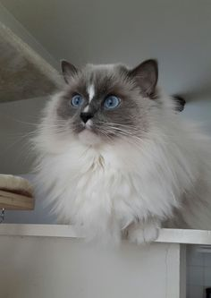 Blue mitted Ragdoll cat Scarlett with blaze / ribbonsragdolls.com
