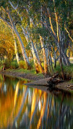 Golden hour - River Gums in North Queensland, Australia   by Russell Stewart
