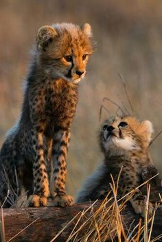 Baby Cheetahs!! Will someone get me one of these.? Please!! Lol