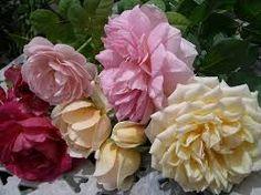 Billedresultat for roses