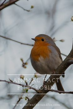 How much do you know about Britains most recognisable garden bird the robin? Animal Fact File, Animal Facts For Kids, Animals For Kids, Bird Facts, Animals Information, Robin Bird, Extinct Animals, Beautiful Pictures