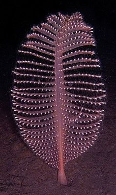 Sea pen - A graceful creature of the seafloor, this sea pen resembles a plump, old-fashioned quill pen. Its colors range from dark orange to yellow to white. Each sea pen is a colony of polyps (small anemonelike individuals) working together for the survival of the whole.