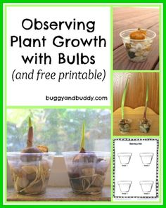 Observing Plant Growth with Bulbs (with free printable)