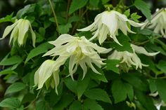 Most wanted It was only ranked second in the RHS's Plant of the Year awards, but many gardeners thought Thorncroft Nursery's delicate 'Lemon Dream' clematis was the star of the show when it came to new plants.