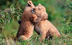 Precious lion cub friends <3