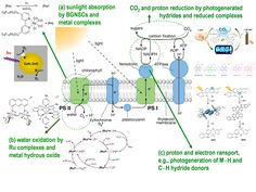 Photosynthesis Diagram - Bing Images