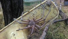 The spider, later named Charlotte, is possibly the biggest huntsman spider ever to be photographed. The woman rescued Charlotte from being killed and then released her on the rescue's farm. Betty's Barnyard Rescue in Queensland, AUS
