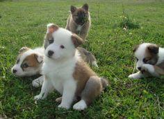 Icelandic Sheepdog Puppies enjoy sunshine in ...