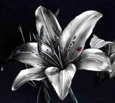 823 Best Black And White Roses Flowers Images In 2019 Black