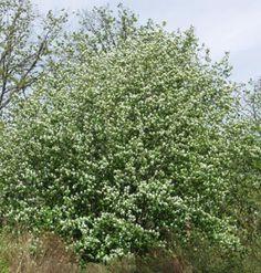Marjatuomipihlaja Intiaanien mustikkapuu Saskatoon Amelanchier alnifolia