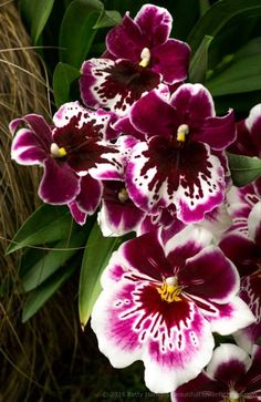 Mitonia Orchid by Patty Hankins, Fine Art Floral Photographer.BeautifulFlowerPictures.com
