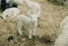 I had a pet lamb when I was little - his name was Lambert.... until he grew horns and became Rambert :-)
