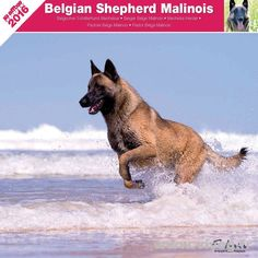 Calendrier chien 2016 - Race Berger belge Malinois - Affixe Edition