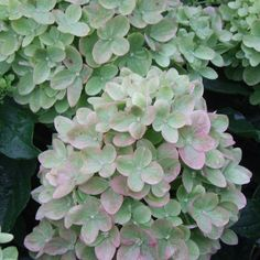 Little Lime™ - Hardy Hydrangea - Hydrangea paniculata FALL COLOR (PINK) - SUMMER COLOR (LIME)