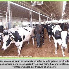 """SANTA CRUZ   Con un sistema que ofrece confort a las vacas para evitar que sufran """"estrés calórico"""", productores argentinos, dirigidos por Guillermo Rocco, han comenzado a trabajar para aumentar la producción de leche en Bolivia. La técnica conocida como Compost Barn se aplica en la lechería Madriles, que está ubicada en el municipio"""