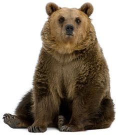 Grizzly bear sitting up - photo#20