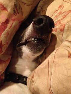Whippet tucked deep in the pillows sleeping. What a sweet baby. Dog Expressions, Lurcher, Grey Hound Dog, Whippets, Italian Greyhound, Greyhounds, Love Pet, Beautiful Babies, Make Me Smile