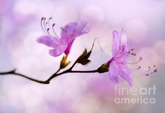 Pink Azalea Flowers by Jaroslaw Blaminsky