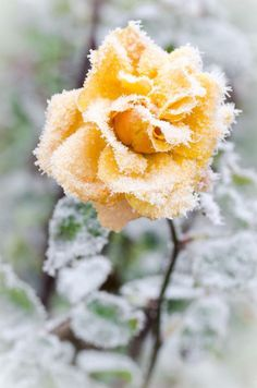 frosty rose by Raul Topan on
