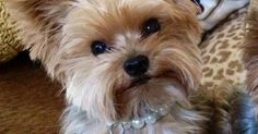 Dogspuppiesforsalecom liked | pretty girl yorkie: Yorkies Haircuts Bella Yorkies Yorkshire Terrier Adorable Animals Breed Yorkies Pet Female Yorkie Haircuts Yorkie Girl Haircuts Getting a dog or a puppy as a new addition to your family is an excellent decision! You're adding another member that can provide lots of love and enjoyment! This is a relationship you'd want to make sure that you're doing right the first time around. You'll need to find out what makes your dog happy what are the…
