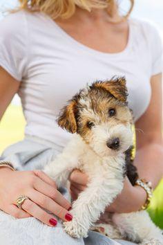 "barbaraobrienphoto2014day: "" November 24, 2014 - Fox Terrier Fun - Wire Fox Terrier Puppy - Cleo 2014©Barbara O'Brien Photography """
