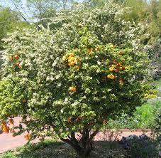 L'Arancio Amaro o Citrus Aurantium è un albero da frutto sempreverde che può arrivare fino a 10 metri di altezza, appartiene alla famiglia delle Rutaceae e al genere Citrus che raggruppa la famiglia degli agrumi, ha fiori bianchi, lunghe spine e foglie...