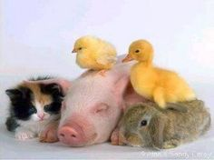 Animaux - Chat, Cochonnet, Lapin, Poussin, Canard