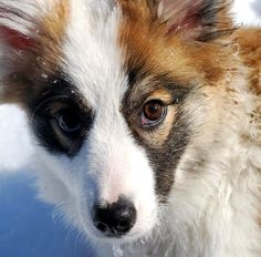 - Read the results on this poll and other Dogs polls Icelandic Sheepdog, Icelandic Horse, Shetland Sheepdog, Small Puppies, Small Dogs, Pretty Black, Black And White, Lancashire Heeler, Spitz Breeds