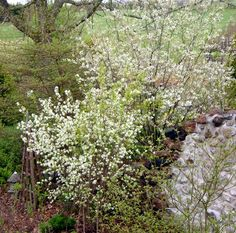 Amelanchiers in full bloom in spring in the grotto at Spring Valley Roses.