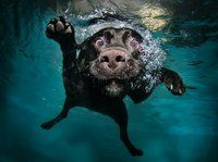 underwater dog.  It looks like my Sammy dog aka the seal-pup.