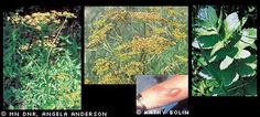 Wild parsnip - Invasive species: Minnesota DNR - got a terrible rash on my hands from trying to pull some.