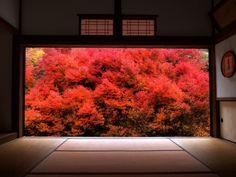 ドウダンツツジ (豊岡市 安国禅寺)  Enkianthus perulatus (Ankokuzenji in Hyogo, Japan)  I love this shrub. Plant information is here : http://www.greatplantpicks.org/plantlists/view/563