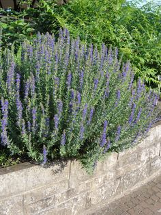 Hyssopus Officinalis (hyssop)~ (Whole Plant, Leaves, Flowers, Oil) Internally: (flowering plant) bronchitis, upper repertory tract infections, and congestion, feverish illnesses and coughs in children, flatulence, and colic. Externally: (flowering plant) cuts and bruises. (oil) bronchial infections. (bath oil) nervous exhaustion. *Excessive use of essential oil may cause epileptic fits and death.