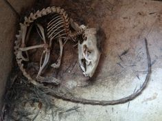 Skeleton Rat 1 Photo by Aditya Roy -- National Geographic Your Shot