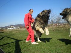 Funny pictures about Caucasian Ovcharka. Oh, and cool pics about Caucasian Ovcharka. Also, Caucasian Ovcharka photos. Huge Dogs, Giant Dogs, Massive Dogs, Caucasian Shepherd Dog, Terra Nova, Funny Animals, Cute Animals, Bear Hunting, Tibetan Mastiff